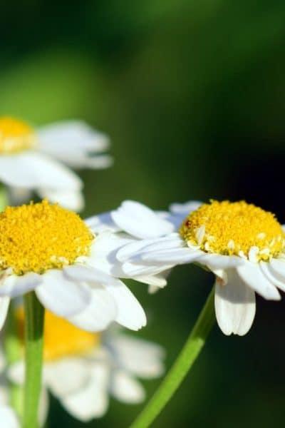 Les plantes pour soulager les règles douloureuses