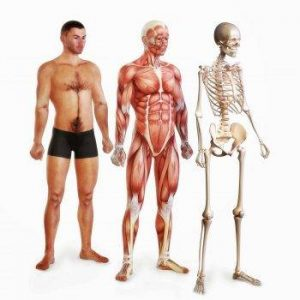 systeme musculosquelettique