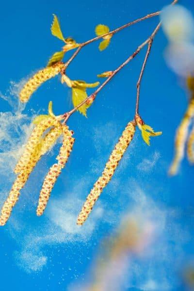 bouleau pollen